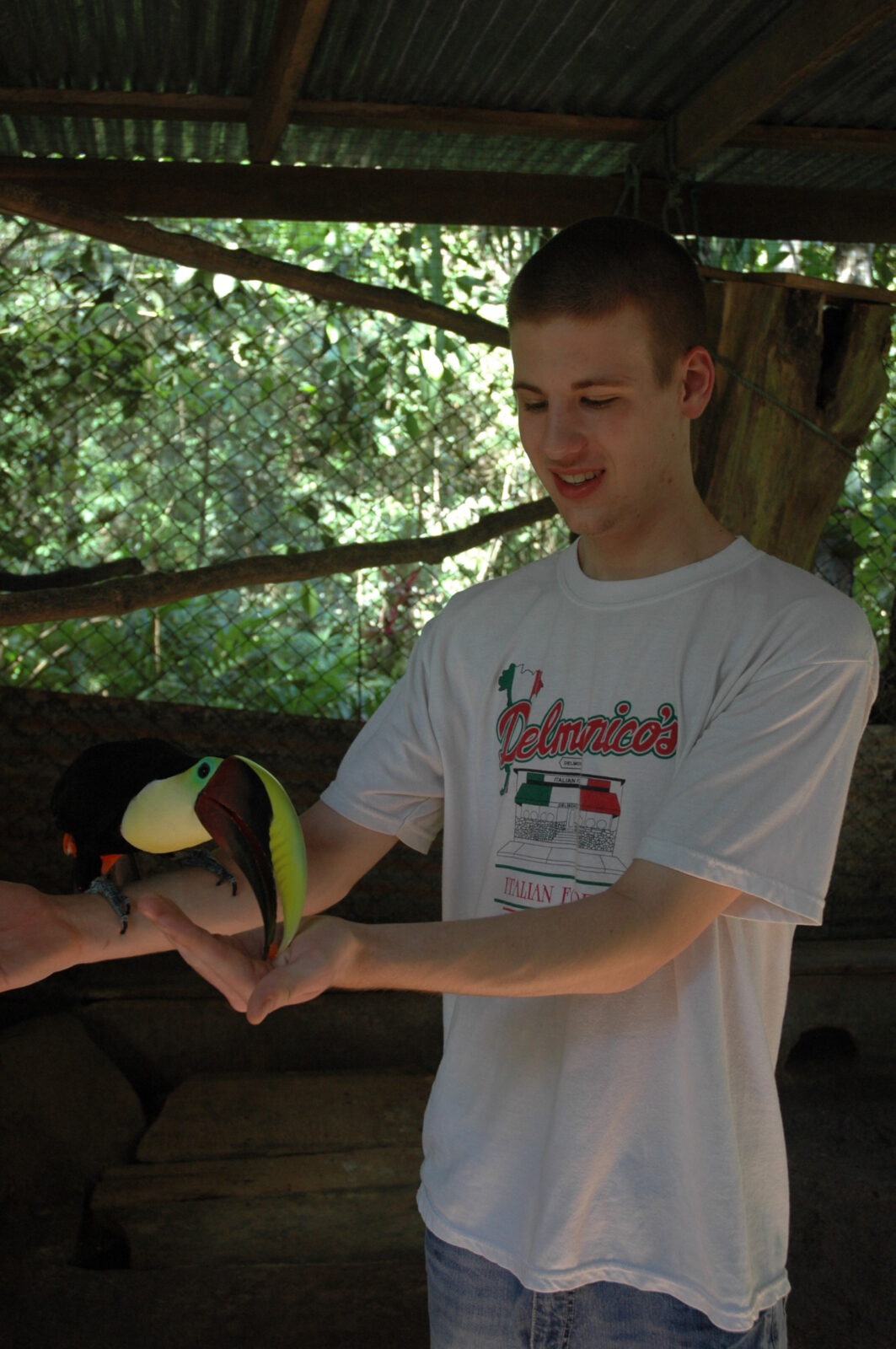 feeding toucan costa rica