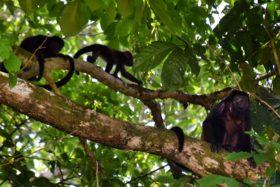 troop of monkeys at casa cusinga