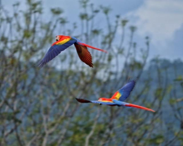 lapas scarlet macaws costa rica