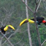 costa rica toucans