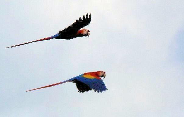 costa rica lapas macaws